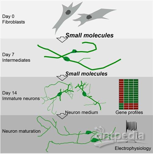8月6日,国际学术期刊Cell Stem Cell在线发表了中国科学院上海生命科学研究院生物化学与细胞生物学研究所裴钢研究组的最新研究成果Direct conversion of normal and Alzheimers disease human fibroblasts into neuronal cells by small molecules,报道了该组应用小分子化合物组合诱导人成纤维细胞转化为神经细胞的最新成果,这种化合物诱导的人神经细胞(hciNs)具有与对照神经元相似的电生理特性
